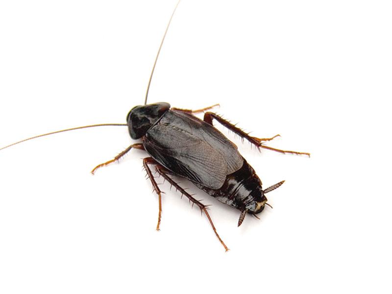 Blatta Orientalis o scarafaggio nero comune