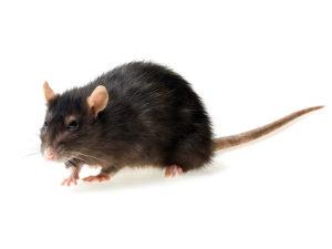 Ratto nero o topo di fogna