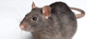 Ratto norvegico o ratto comune