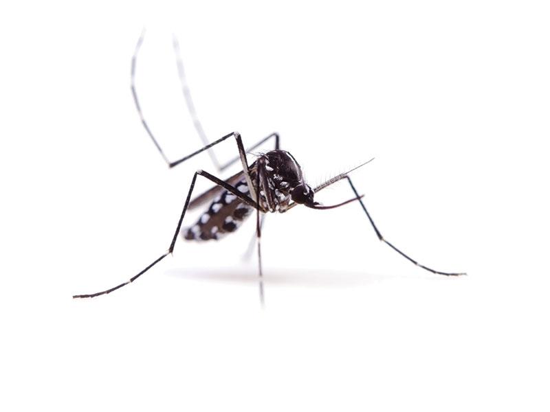 Esemplare di Zanzara tigre
