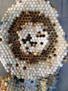 Dettaglio di alcune vespe calabro nell'alveare