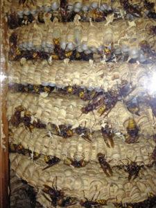 Dettaglio di un Nido di vespe calabro situato tra finestra e serramento esterno