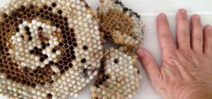 nido-vespe-calabro-grandezza