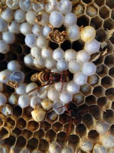 Dettaglio di una vespa calabro nell'alveare