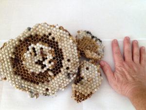 Dimensioni di un alveare di vespe calabro