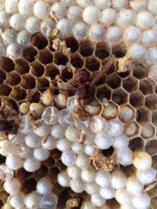 Una vespa calabro o calabrone