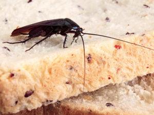 Scarafaggio Blatta orientalis