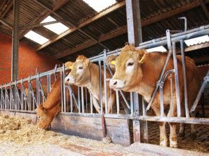 Allevamento bovini con infestazione mosche