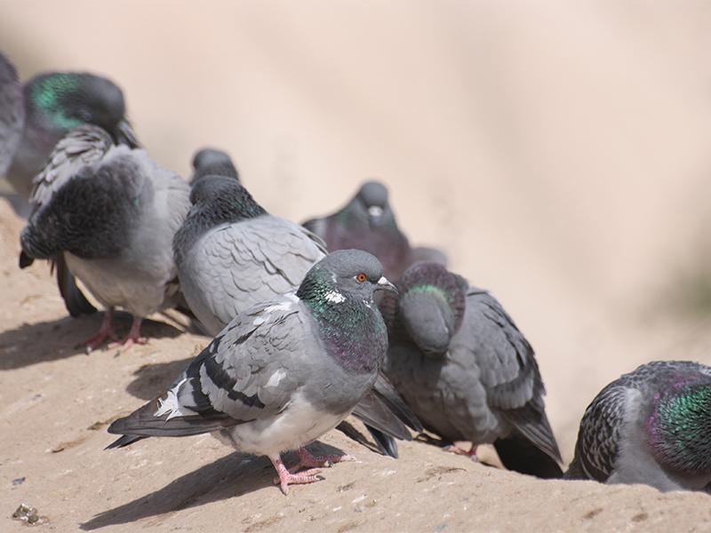 Esemplari di piccioni comuni