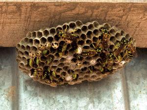 Un nido di vespe di piccole dimensioni