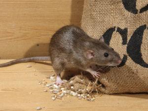 Un ratto che si nutre da un sacco di sementi