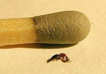 Scleroderma Domestico parassita del tarlo