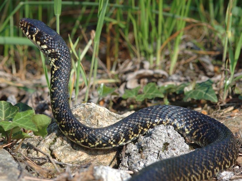 Serpente Biacco Hierophis viridiflavus
