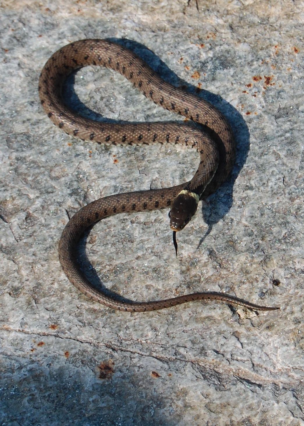 Serpente Natrix natrix o biscia dal collare