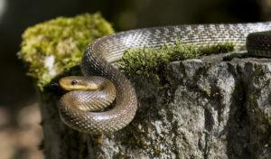 serpente saettone (Zamenis longissima)