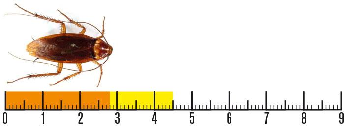 riconoscere uno scarafaggio la periplaneta americana