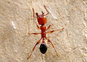 Formica Myrmicinae