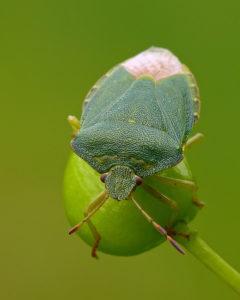 Una cimice verde